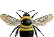 buble bee