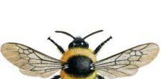buble bee