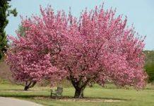 photo of a cherry tree