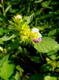 Large Flowered Hemp Nettle