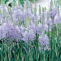 purple flowering bulbs
