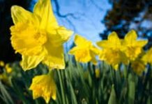 Daffodils Photo