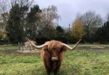 photo of a Highland cow