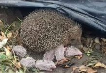 Wirral Hedgehog Hospital phot