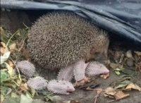 Wirral Hedgehog Hospital phot