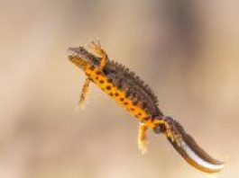 Great crested newt swimming